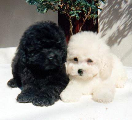 Poodle Toy Dog